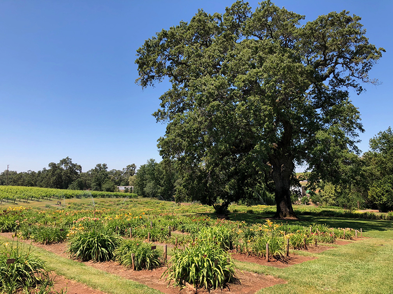 Amador Flower Farm Oak Tree and Daylily Gardens