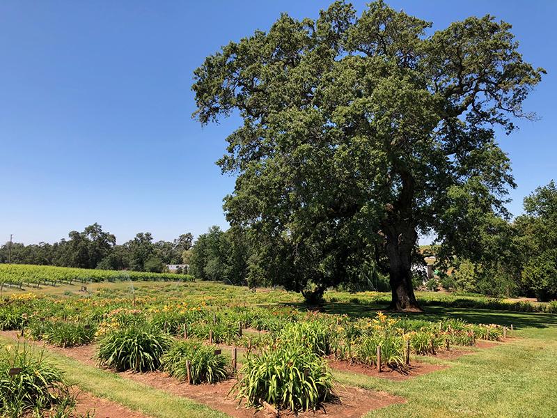 Amador Flower Farm Oak Tree and Daylily Gardens